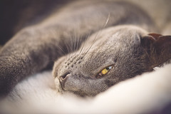 Yellow and Blue (Playing_with_light) Tags: blue sleeping eye up yellow cat nikon close gray kitty awakened d800 catlovers