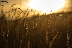 Wild Oats In Sunset (pogmomadra) Tags: sunset wild plants sun sunlight field grass wednesday evening weeds nikon bokeh oats goldenglow hbw happybokehwednesday d5300 bevclark pogmomadra