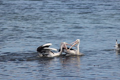 Duelling Pelicans (KENO Photography) Tags: life travel blue sea summer two sun white lake fish bird beach nature wet water colors beauty birds animal swimming coast fishing stream wildlife duo watching wing beak feather australia pelican duel fighting multicolored locations animalsinthewild colorimage blackcolor animalsandpets