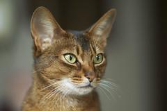 Abbassynian cat (wietsej) Tags: cat sony abbassynian zeiss 135 sonnar 13518 za wietsejongsma