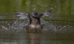 3-La alegra de la laguna( TIGUA SPA)!!Centro de spa o centro de hidroterapia corporal a precio especial.Favor hacer cita con doa Tigua Estevez!!Dedicada a LA LEYENDA DE FANTINO TIMOTEO ESTEVEZ!!! (Cimarrn Mayor !!!7,000.000 DE VISITAS, GRACIAS!!) Tags: naturaleza bird fauna libertad dominicanrepublic pssaro ave oiseau libre vogel montaas caribe uccello panta ptak fgel lintu repblicadominicana repdom  dominicano ptica  quisqueya  tigua ptek zambullidormenor libertee cimarrnmayor canoneos7dmarkii 7dmarkii josmiguelpantalen canon7dmarkii telefoto700mm zampullnmacacito ordenpodicipediformes familiapodicipedidae zambullidorchico macgris gnerotachybaptus zampullnenano nombrecientificotachybaptusdominicus nombreinglesleastgrebe lugardecapturacotu isladelahispaniola