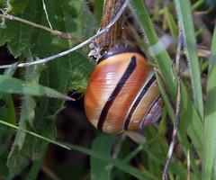 (carolemason) Tags: wembury prawlepointsnail