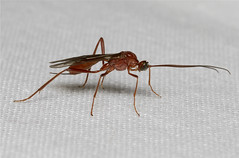 Ichneumon spp. (Wasp) (Nick Dean1) Tags: macro animal canon insect washington wasp insects ichneumon washingtonstate arthropods animalia arthropoda parasite everett arthropod hexapod insecta washingtonusa ichneumonwasp hexapods hexapoda ichneumonidae parasiticwasp canon7d southeverett
