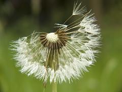 Lwenzahn (Gunnar Ries zwo) Tags: flowers flower yellow spring meadow wiese dandelion gelb blueten fruehling bluete pusteblume blumenwiese loewenzahn pusteblumen bluehen taraxum