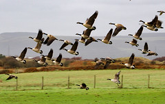 Geese In Flight (Adamc206) Tags: autumn light pool misty wales canon woodland outdoors geese wildlife flock flight bad goose grassland honk wetland kenfig d1200 canond1200