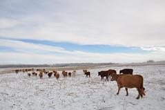 Winter treats ;) (Jeannette Greaves) Tags: corn frost cows hoarfrost hugh fencing jeannette 2015 rlpasture