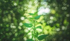 Bokeh Explosion (Dhina A) Tags: sony a7rii ilce7rm2 a7r2 vivitar series1 28mm f19 vmc vivitarseries128mmf19 zoomfocus zoom bokeh 19 green plant garden park