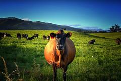 New Zealand Brown Cow :) (Kevin_Jeffries) Tags: depthoffield dof bovine cow animal farm countryside rural kevinjeffries green blue portrait nature summer new nikon nikkor d7100 december