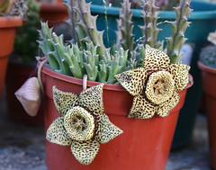 Stapelia variegata (leograttoni) Tags: naturaleza nature planta crasa maceta pot stapeliavariegata flor flower airelibre laplata buenosaires