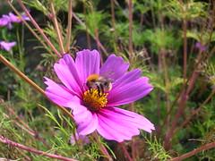 Dans le jardin... (hyakoukoune) Tags: flower flowers fleur fleurs insecte insectes pollen jardin garden bourgogne cosnesurloire loire france 2016 septembre