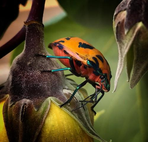 5. Harlequin beetle.