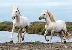 2016 Two Camargue Stallions (24) (maskirovka77) Tags: saintlaurentdaigouze languedocroussillonmidipyrén france languedocroussillonmidipyrénées fr stallion stallions whitehorse whitehorses whitestallion whitestallions createaway photoworkshop