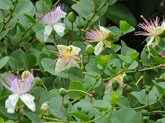 Caper 續隨子/酸豆 Capparis spinosa 山柑屬 (Sheila's collection) Tags: caper 續隨子/酸豆 capparaceae 山柑科