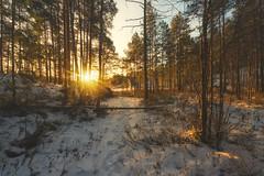 Golden Path (mattiboeschoten) Tags: winter ice snow sunrise sun light finland suomi scandinavia outdoor travel nature trees