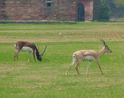 Blackbuck Antelope (Northern India)