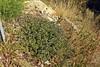 Alkanna tuberculata; Boraginaceae (1) (pflanzenflüsterer) Tags: boraginaceae arroyodelculpil andalusien spanien iberien mittelmeer europa staude laubwerfend 5petals blau schminkwurz frankreich sardinien balkan albanien griechenland libyen tunesien algerien marokko russland türkei turkey nordafrika vorderasien asien afrika winterregen alkannatinctoria