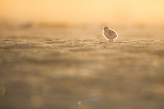 A New Dawn (santosh_shanmuga) Tags: least tern chick baby cute tiny small adorable fluffy new dawn bird birding seabird aves wild wildlife nature animal outdoor outdoors nikon d3s 500mm sunrise sunset sun golden light beach sand shore jersey nj newjersey backlit rim rimlight