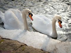 Schwäne am Eis (Yohtine) Tags: enz altstätter brücke pforzheim schwan schwäne eis fluss river fleuve svan svans cold ice water