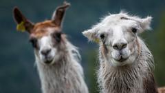 Alpacas at Geiranger (Markus Trienke) Tags: norwegen sommer urlaub geiranger møreogromsdal no canon eos 70d animal alpaca outdoor