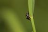 Little brother (Les amis des insectes) Tags: arachnide nature animal hexapode extérieur macro profondeurdechamp