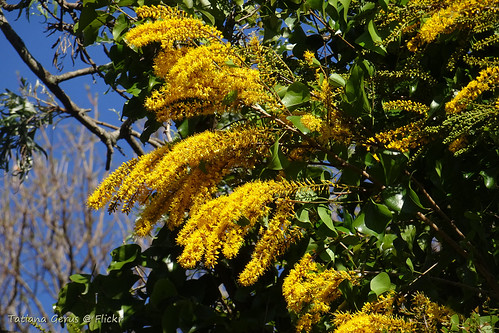 Crown of Gold (Barklya syringifolia)