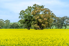 _DSC3201.jpg (David Hamments) Tags: junee canolafields weed yellow pattersonscurse nsw
