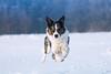 Winter fun (katarzyna koludzka-zietek) Tags: dog winter snow fun jumping flying