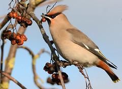 Waxwing (Severnrover) Tags: bird winter scandanavian tuft rowan berries