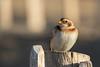 Snow bunting (Esox2402) Tags: wildlife bird snowbunting beach canon7dmkii sigma150600mm sunshine post