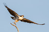 Quick Release (gseloff) Tags: osprey bird flight bif wildlife launch horsepenbayou pasadena texas kayakphotography gseloff
