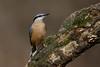 _F0A7698.jpg (Kico Lopez) Tags: galicia lugo miño sittaeuropaea spain trepadorazul aves birds rio