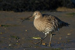Curlew 70887 (wildlifetog) Tags: canon coast coastal curlew blackmore britishisles britain bird birds beach bembridge harbour isleofwight uk mbiow martin european england eos7dmkii wild wildlifeeurope wildlife wader nature