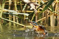 _W0A6188 (CloLachat) Tags: oiseau martin pêcheur eau étang roseaux plongeon