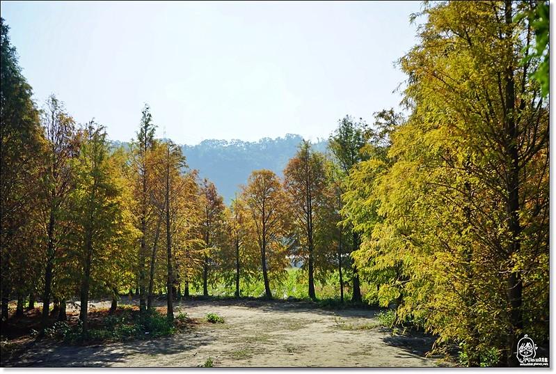 32114727781 3703e6bb6d c - 『台中。后里』 泰安落羽松林秘境-泰安國小旁/泰安櫻花派出所/冬日限定的那一季松紅。
