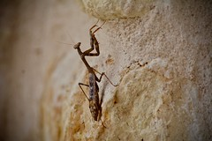 Rock Climber (Kreative Capture) Tags: insect prayingmantis climb limstone rock wall hanging legs wings texas nikkor d7100 nikon
