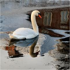 swan in wintertime.......... (atsjebosma) Tags: swan zwaan vogel winter ijs ice reflections reflecties december atsjebosma 2017 cold koud