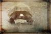 Galapagos Giant Tortoise (Passion4Nature) Tags: galapagos geocheloneelephantopus santacruzisland giant tortoise prehistoric et ancient texture