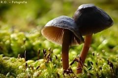 Makro Pilze / Macro mushrooms (R.O. - Fotografie) Tags: helmling makro pilze mushrooms macro natur nature klein small keimlinge moos moss bokeh nahaufnahme closeup close up panasonic lumix dmcfz1000 dmc fz1000 fz 1000