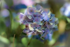 Another Day of Sun (marionrosengarten) Tags: hortensie hydrangea summer flower violet purple sun green nature garden museumsinselhombroich park blume pflanze sonne natur grün lila bokeh nikon nikon50f18