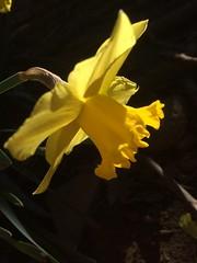 Giallo come il sole , bello come il narciso. (esterinaeliseo1) Tags: profilo flower justnature fiore giallo macro narciso