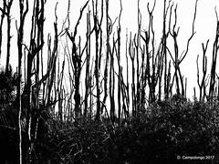 Dead Trees (Don C. over 2.2 Million Views) Tags: florida deadtrees bonitabeachroad blackwhite