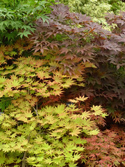 Acers P1220645mods (Andrew Wright2009) Tags: hampton court flower show rhs royal horticultural society essex england uk flowers plants garden cultivated acers maples miniature trees yellow red