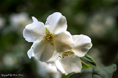 Gartenjasmin (Doris Lucas) Tags: blüte blüten dorislucas gartenjasmin jasmin zierstrauch garten blume flower
