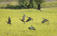 White-faced Ibis (Peter Stahl Photography) Tags: whitefacedibis ibis migrant kealiapond maui hawaii