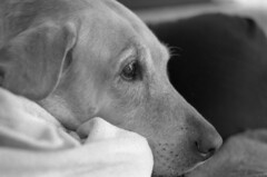 Molly Shot (PositiveAboutNegatives) Tags: dog lab ardor yellowlab film kentmere leicaflexsl 35mmelmarit coolscan