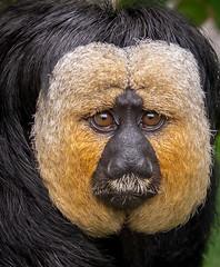 Sakis Monkey (steven_matthews1) Tags: france monkey sony saki sakis zooparc beauvile