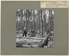 Cutting Tree (National Forests in Florida) Tags: tree forest sale land muir pulpwood