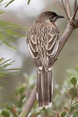 Red Wattlebird (crispy1612) Tags: birds gardens botanical canberra act birdlife redwattlebird
