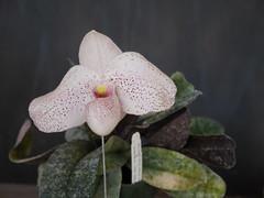 Paphiopedilum delanatii x belattulum (cieneguitan) Tags: flower flora lan bunga orkid okid angrek anggerek