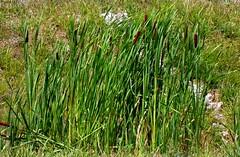 Anglų lietuvių žodynas. Žodis cattail reiškia nendrė lietuviškai.